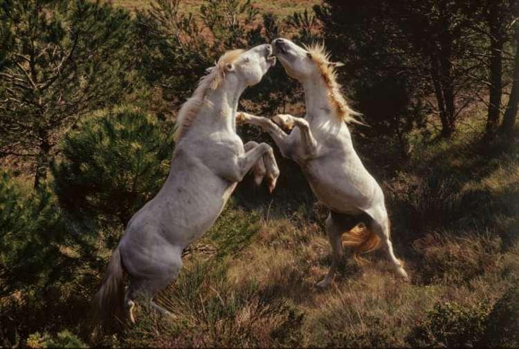 'Fighting Stallions in the Camargue', 2017, ett konstverk av Hans Silvester
